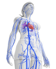 3d rendered illustration of female heart anatomy