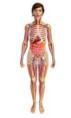 3d rendered illustration of female digestive system