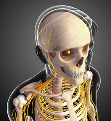 Nervous system of male skeleton artwork