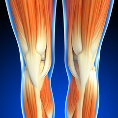 3d rendered illustration of knee  muscles anatomy