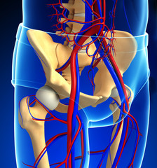 human pelvic girdle circulatory system