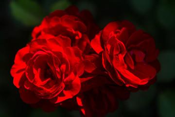 Fototapeta Róże obraz