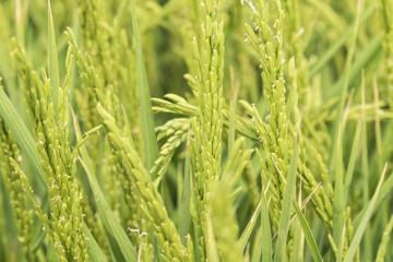 Unripe rice plantation