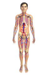 3d rendered illustration of male skeletal anatomy