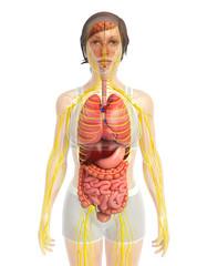 3d rendered illustration of female nervous system