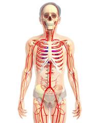 3d rendered illustration of heart anatomy