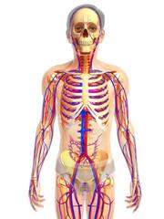 3d rendered illustration of skeletal anatomy