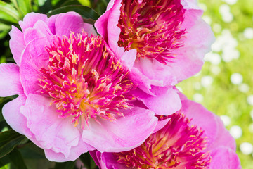 The heart of a pink peony