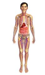3d rendered illustration of male digestive system