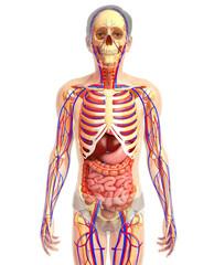 3d rendered illustration of digestive system