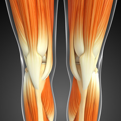 3d rendered illustration of leg muscles anatomy