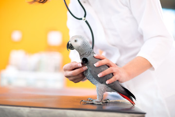 Medical examination of sick parrot in vet clinic