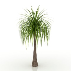 3D tree ponytail palm  isolated on white background