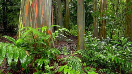 Rainbow Eucalyptus Trees in Hawaiian Rainforest