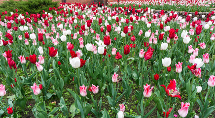 colourful tulips flowers season garden
