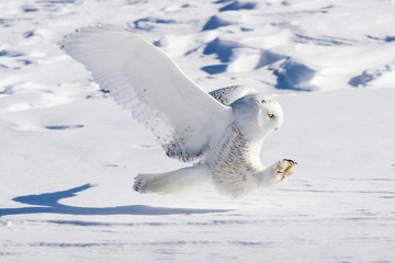 Snowy Owl Swoop