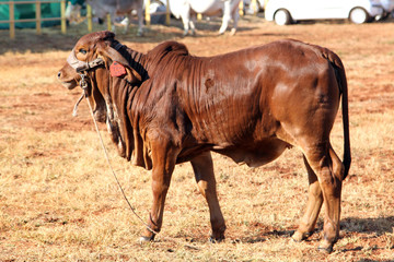 Brown Brahman Calf standing in the sun