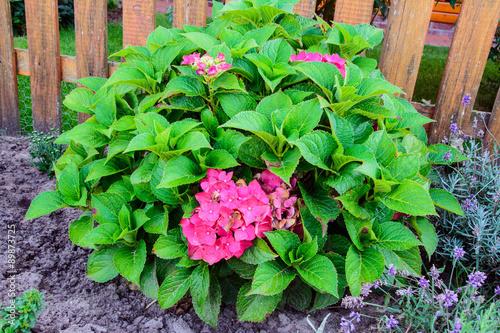 eine hortensie mit kr ftig rosa bl ten an einem busch daneben lavendelbl ten fotos de. Black Bedroom Furniture Sets. Home Design Ideas