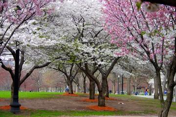 Cherry Blossom..