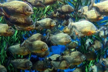 """Red bellied piranha school swimming underwater. ( Serrasalmus nattereri )"