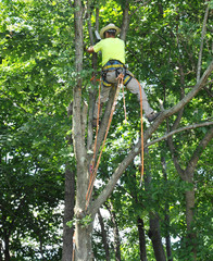 Tree trimmer cutting down an Ash tree infested with the Emerald ash borer