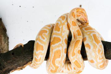 snake & serpent