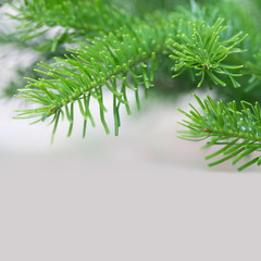 Evergreen spruce branch