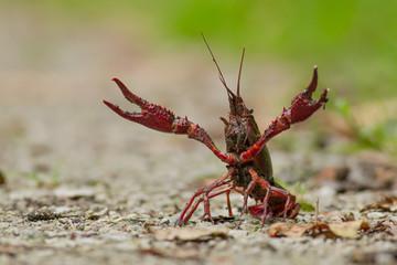 Red swamp crawfish (Procambarus clarkii, red swamp crayfish, Lou Wall mural