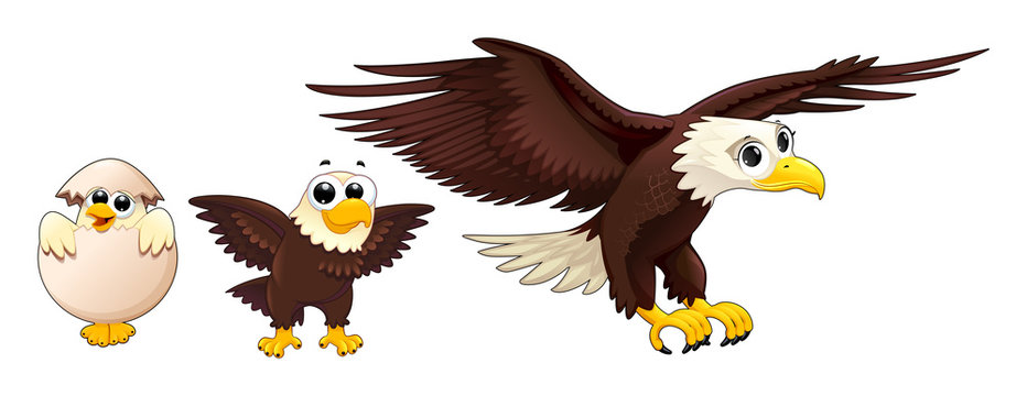 Development of the eagle in different ages