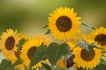 Sonnenblumen, Helianthus annuus, gehört zur Familie der Korbblütler.