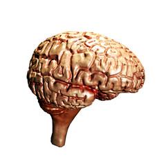 brain isolated on white background