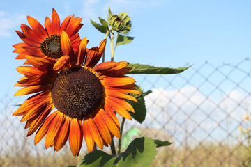 The red sunflower growing in a garden at a fence in summer day