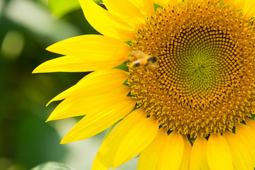 Bee and Close Up Sunflower