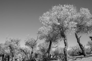 Black and white image of trees in autumn season
