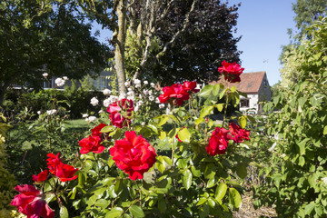 Red roses and an English country garden