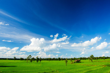 blue sky and rice field
