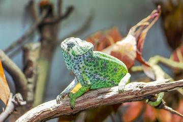 Fotobehang Kameleon Le caméléon de parc zoologique de Paris