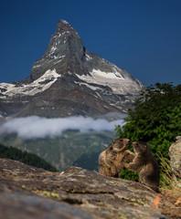 Swiss beauty, frolicing young marmots under Matterhorn