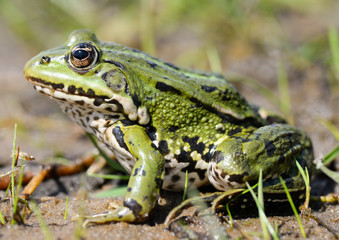 Frog and nature background/Frog closeup on nature background