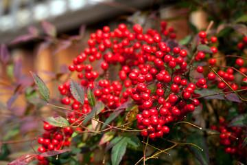 Colorful fall shrub with red berries ( Ardisia Crenata)