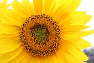 Sonnenblume in Blüte