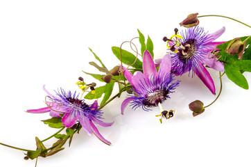 Wall Mural - Garten-Schönheit: Passionsblumen: Passiflora violacea :)