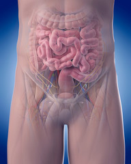 medically accurate illustration of abdominal anatomy