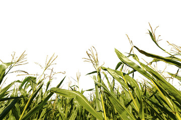 Corn growing on field on white background.