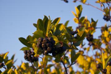 Branch of rips chokeberries
