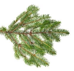 green lush isolated fir branch