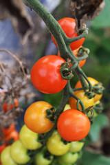 枝になるミニトマト