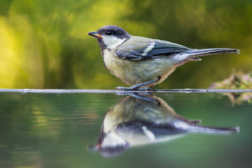 Great tit near the water