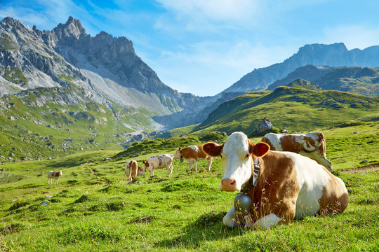 Leading cow with herd