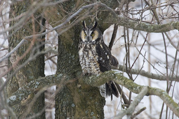 Alert Long-eared Owl, Asio otus, perched in tree